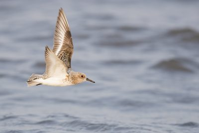Sanderling - In Flight (Calidris alba)