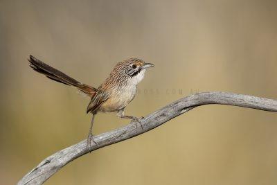 Sandhill Grasswren - Male (A.m.oweni)3