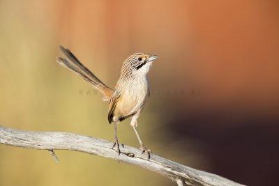 Sandhill Grasswren - Male (A.m.oweni)6
