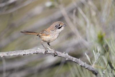 Sandhill Grasswren - Male (A.m.oweni)9
