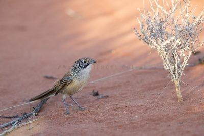 Sandhill Grasswren - Male on ground (A.m.oweni)