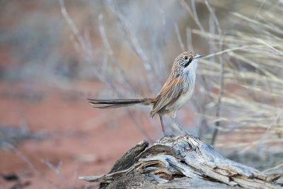 Sandhill Grasswren - Male on log (A.m.oweni)