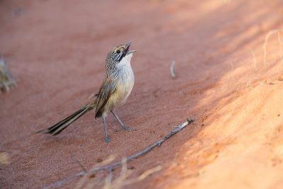 Sandhill Grasswren - Male singing on the ground (A.m.oweni)