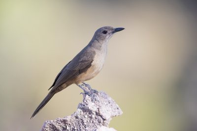 Sandstone Shirke-thrush (Colluricincla woodwardi) - Gunlom, NT