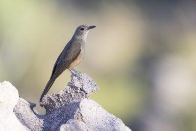 Sandstone Shirke-thrush (Colluricincla woodwardi) - Gunlom, NT1