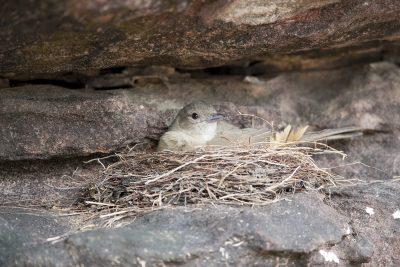 Sandstone Shrike-thrush (Colluricincla woodwardi) - On Nest - Ubirr, NT