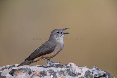 Sandstone Shrike-thrush - Singing (Colluricincla woodwardi)