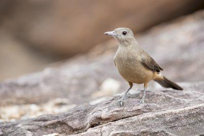 Sandstone Shrike-thrush (Colluricincla woodwardi) - Ubirr, NT