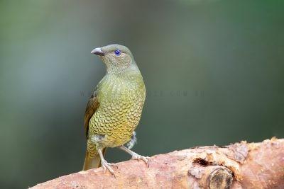 Satin Bowerbird - Female