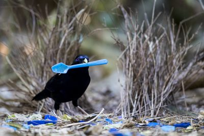 Satin Bowerbird - Male at Bower with spoon (Ptilonorhynchus violaceus)