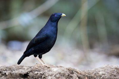 Satin Bowerbird - Male (Ptilonorhynchus violaceus)