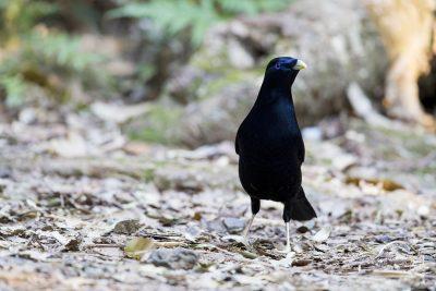 Satin Bowerbird - Male (Ptilonorhynchus violaceus).