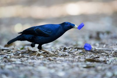 Satin Bowerbird - Male with bottle top (Ptilonorhynchus violaceus)