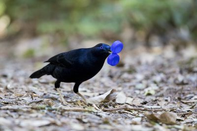 Satin Bowerbird - Male with double bottle tops