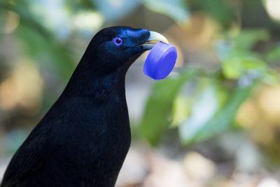 Satin Bowerbird - Male with Prize (Ptilonorhynchus violaceus).