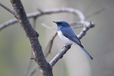 Leaden Flycatcher - Male (Myiagra rubecula concinna)