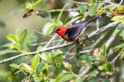Scarlet Honeyeater (Myzomela sanguinolenta)2