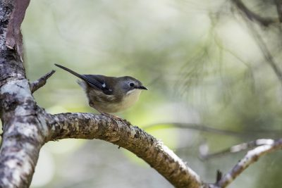 Scrubtit (Acanthornis magna)