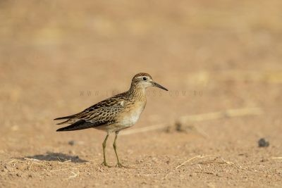 Sharp-tailed Sandpiper (Calidris acuminata).1