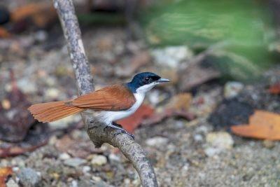 Shining Flycatcher - Female (Myiagra alecto wardelli).1