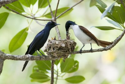 Shining Flycatcher - Male & Female at Nest (Myiagra alecto melvillensis)