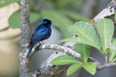 Shining Flycatcher - Male (Myiagra alecto)