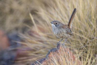 Short-tailed Grasswren - Male (A. m. pedleri) - Mt Ives, SA