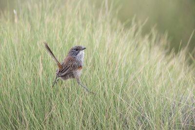 Short-tailed Grasswren - Female (A.m.merrotsyi).
