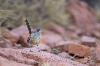 Short-tailed Grasswren - Female (A.m.pedleri)