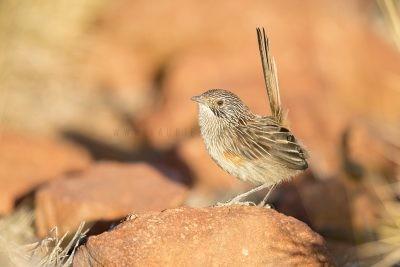 Short-tailed Grasswren - Female (A.m.pedleri).