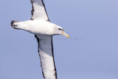 Shy Albatross - Close Up (Thalassarche cauta)