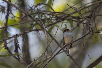 Silver-breasted Broadbill (9)