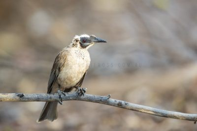 Silver-crowned Friarbird (Philemon argenticeps argenticeps).1