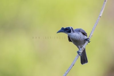 Silver-crowned Friarbird (Philemon argenticeps argenticeps).2