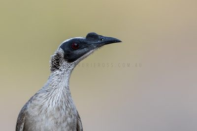 Silver-crowned Friarbird - Profile (Philemon argenticeps argenticeps)