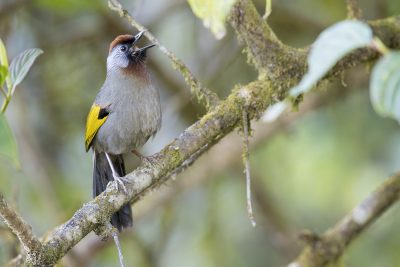 Silver-eared Laughingthrush (Trochalopteron melanostigma).