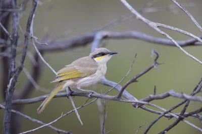 Singing Honeyeater (Lichenostomus virescens forresti) - Uluru, NT