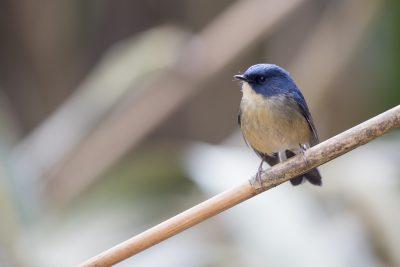 Slaty-backed Flycatcher - Male (Ficedula sordida)