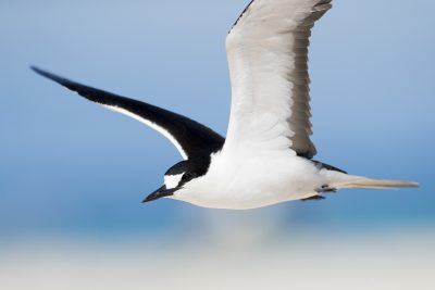 Sooty Tern - Close Up (Onychoprion fuscatus)