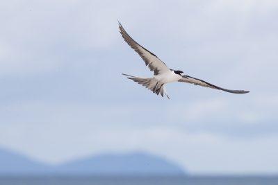 Sooty Tern - In Flight (Onychoprion fuscata serrata)