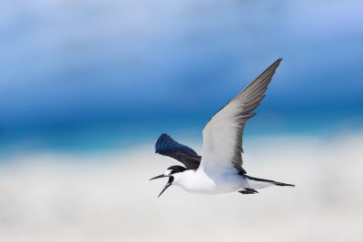 Sooty Tern - In Flight Screaming (Onychoprion fuscatus)