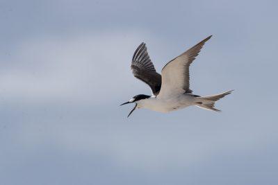 Sooty Tern (Onychoprion fuscata serrata)
