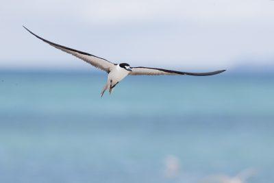 Sooty Tern (Onychoprion fuscata serrata)1