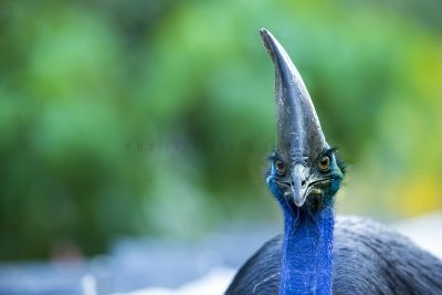 Southern Cassowary - Profile