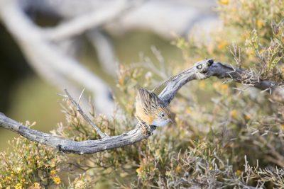 Southern Emu-wren - Male (Stipiturus malachurus westernensis)
