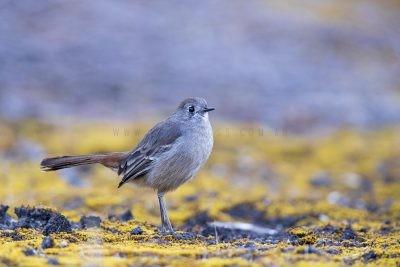 Southern Scrub-robin (Drymodes brunneopygia).