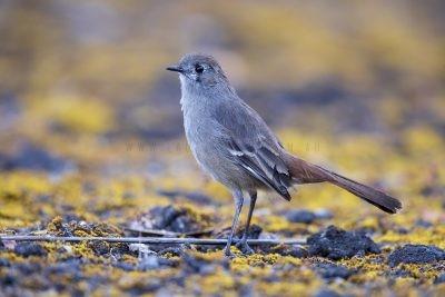 Southern Scrub-robin (Drymodes brunneopygia).1