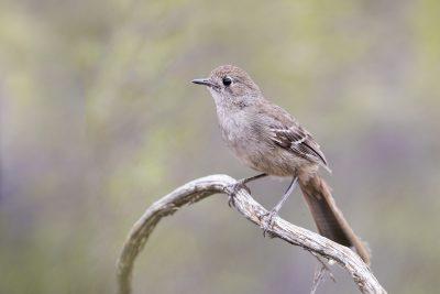 Southern Scrub-robin (Drymodes brunneopygia)3