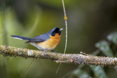 Spectacled Monarch (Symposiachrus trivirgatus)