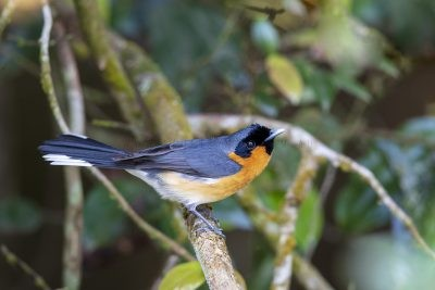Spectacled Monarch (Symposiachrus trivirgatus).2